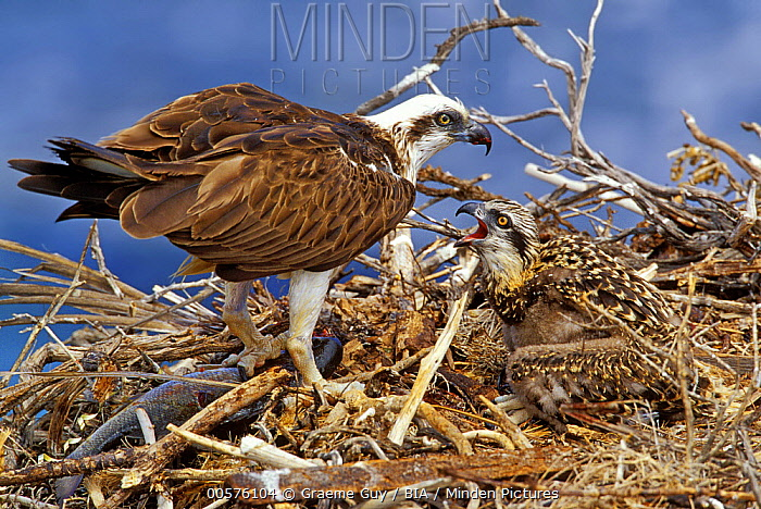 Eastern Osprey (Pandion cristatus) parent feeding chick in nest, Western Australia, Australia