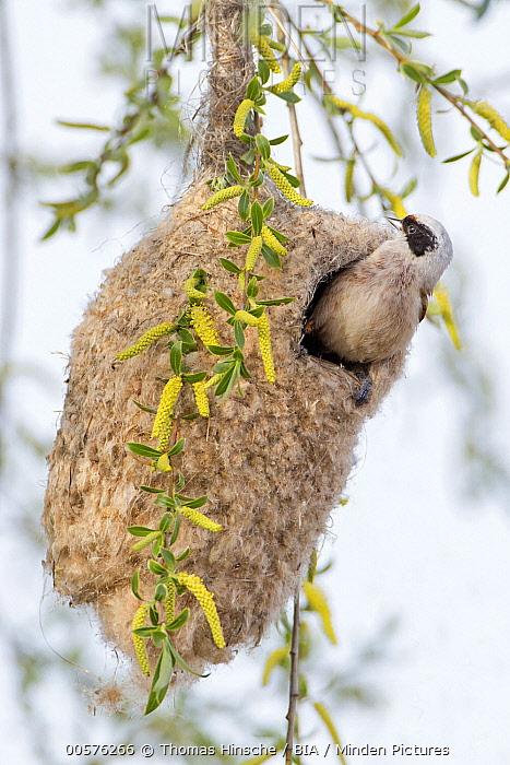 Eurasian Penduline-Tit (Remiz pendulinus) male in nest, Saxony-Anhalt, Germany