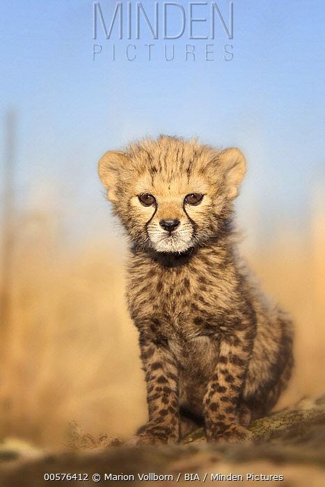 Cheetah (Acinonyx jubatus) cub, native to Africa