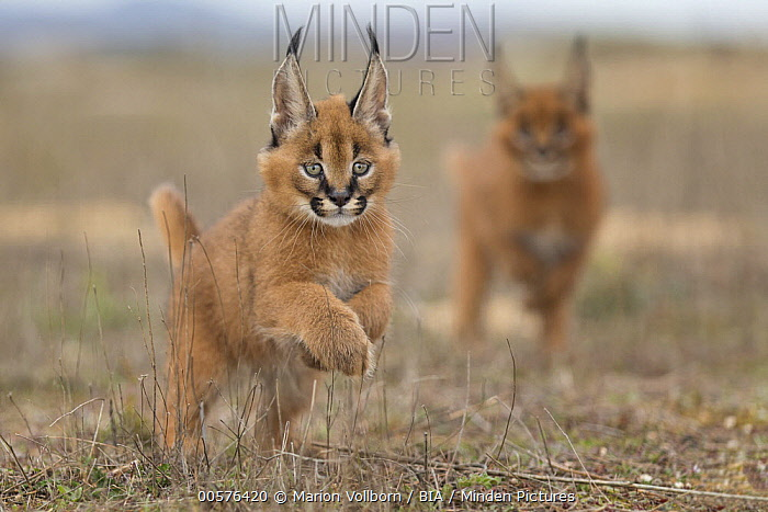 Caracal (Caracal caracal) cubs running, native to Africa and Asia