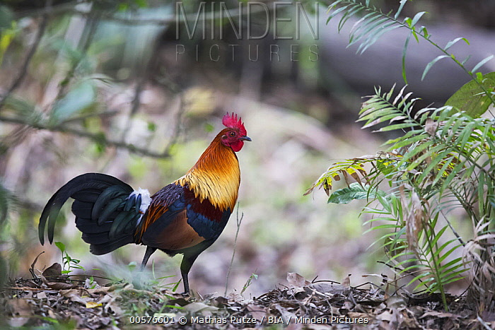 Red Junglefowl (Gallus gallus) male, Kaziranga National Park, India