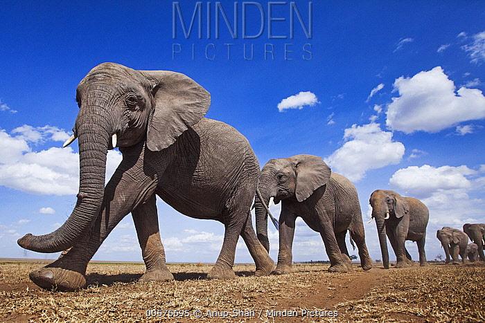 African Elephant (Loxodonta africana) herd in plain, Masai Mara, Kenya