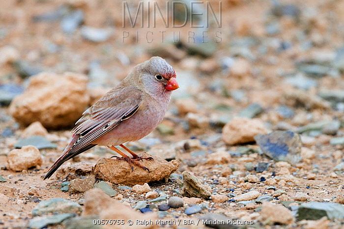 Trumpeter Finch (Bucanetes githagineus), Morocco