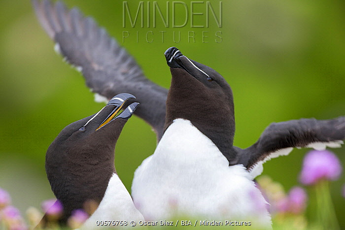 Razorbill (Alca torda) pair courting, Saltee Island, Ireland