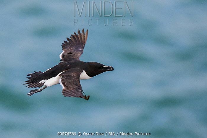 Razorbill (Alca torda) flying, Saltee Island, Ireland