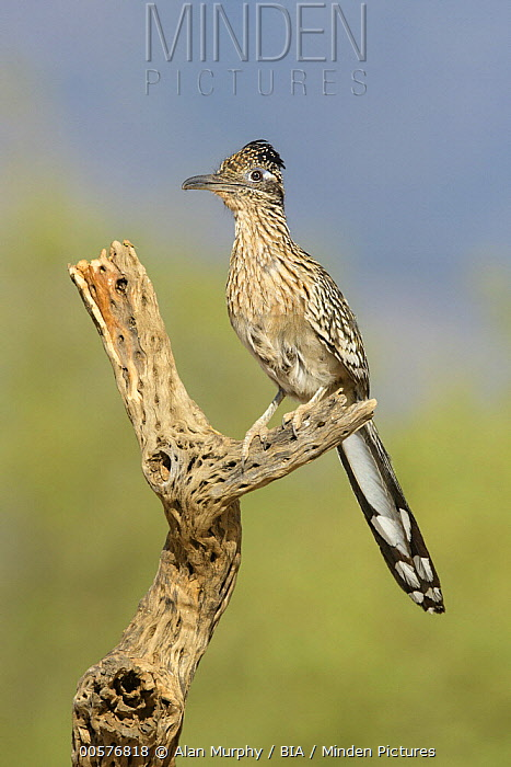 Greater Roadrunner (Geococcyx californianus), Arizona