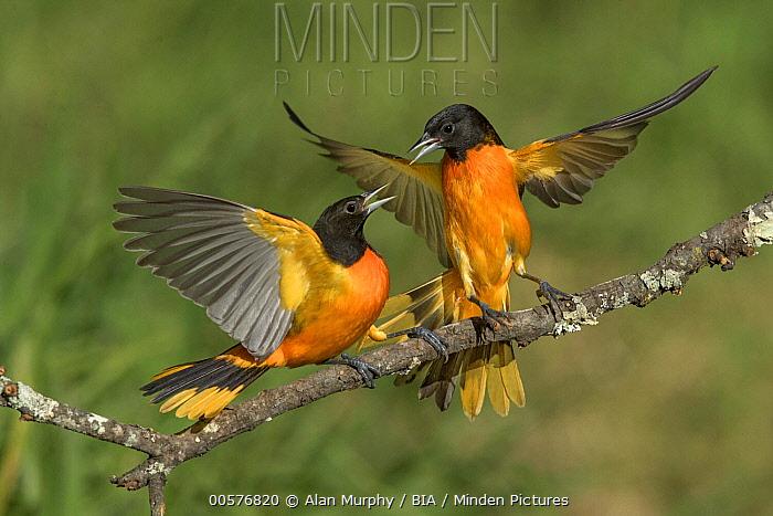 Baltimore Oriole (Icterus galbula) males fighting, Texas