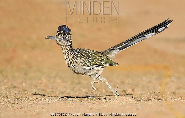 Greater Roadrunner (Geococcyx californianus) running, Arizona