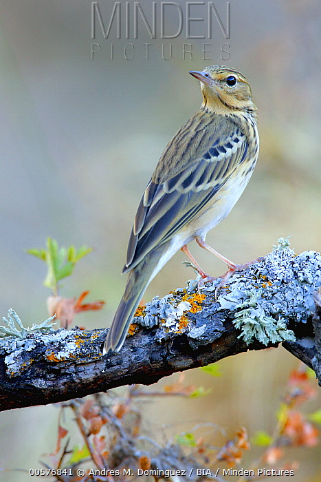 Tree Pipit (Anthus trivialis), Andalusia, Spain