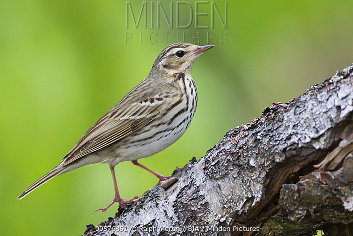 Olive-backed Pipit (Anthus hodgsoni), Russia