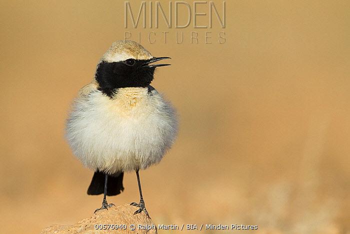 Desert Wheatear (Oenanthe deserti) male calling, Morocco