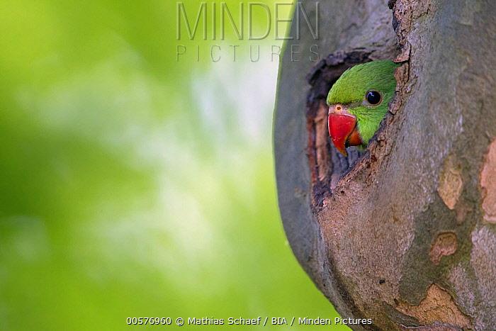 Rose-ringed Parakeet (Psittacula krameri) chick in nest cavity, Baden-Wurttemberg, Germany