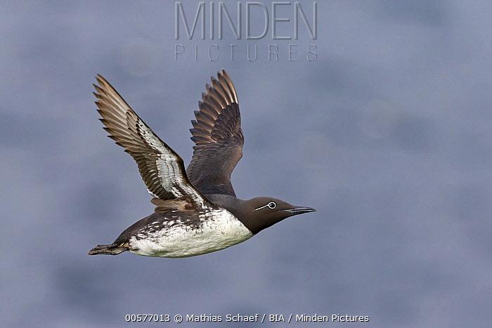 Common Murre (Uria aalge) flying, Finnmark, Norway