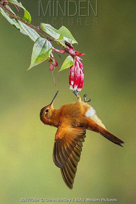 Shining Sunbeam (Aglaeactis cupripennis) hummingbird feeding on flower nectar, Andes, Colombia