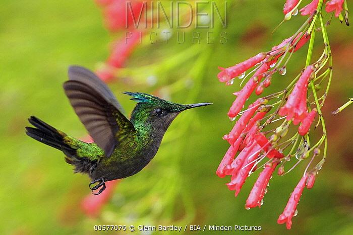 Antillean Crested Hummingbird (Orthorhyncus cristatus) feeding on flower nectar, Martinique