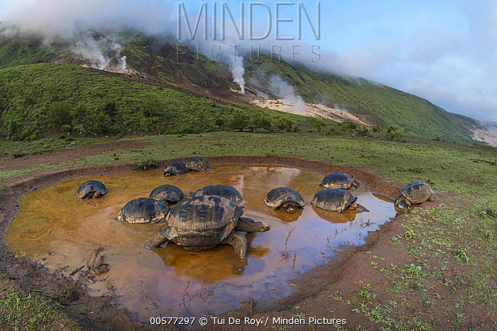 Volcan Alcedo Giant Tortoise (Chelonoidis vandenburghi) group wallowing in seasonal pond, Alcedo Volcano, Isabela Island, Galapagos Islands, Ecuador