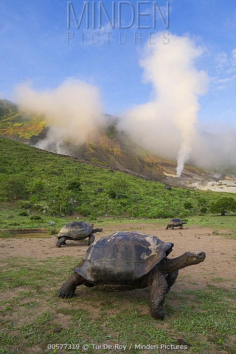 Volcan Alcedo Giant Tortoise (Chelonoidis vandenburghi) group in volcanic landscape, Alcedo Volcano, Isabela Island, Galapagos Islands, Ecuador