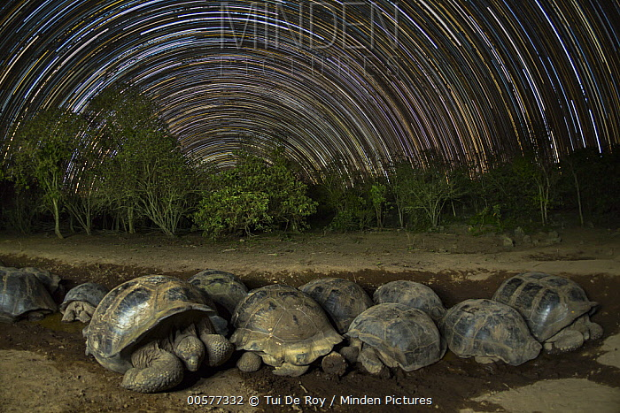 Volcan Alcedo Giant Tortoise (Chelonoidis vandenburghi) group wallowing in mud at night, Alcedo Volcano, Isabela Island, Galapagos Islands, Ecuador