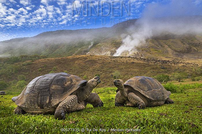 Volcan Alcedo Giant Tortoise (Chelonoidis vandenburghi) pair in volcanic landscape, Alcedo Volcano, Isabela Island, Galapagos Islands, Ecuador