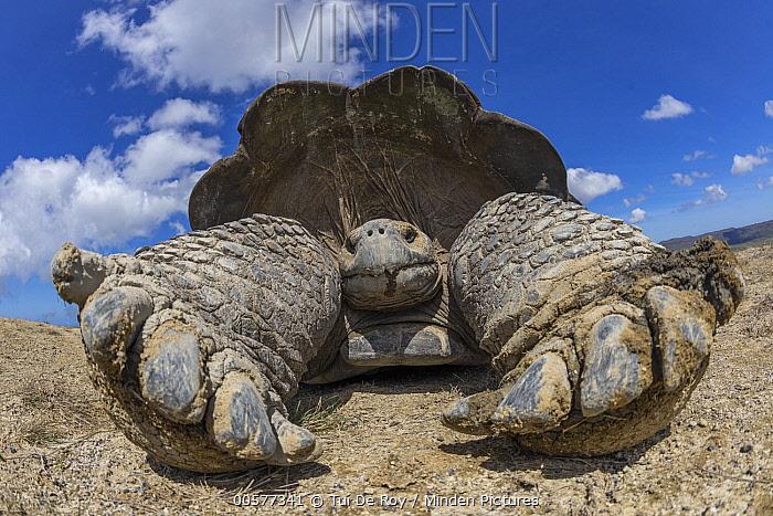 Volcan Alcedo Giant Tortoise (Chelonoidis nigra vandenburghi), Alcedo Volcano, Isabela Island, Galapagos Islands, Ecuador