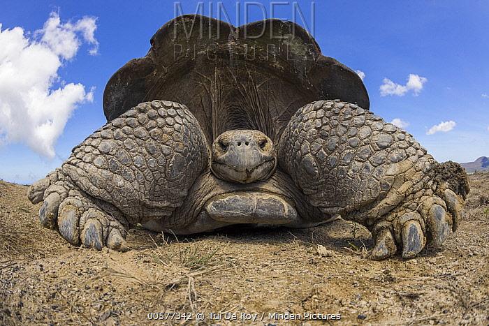 Volcan Alcedo Giant Tortoise (Chelonoidis vandenburghi), Alcedo Volcano, Isabela Island, Galapagos Islands, Ecuador
