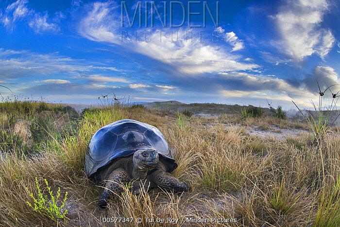 Volcan Alcedo Giant Tortoise (Chelonoidis vandenburghi) on ridge, Alcedo Volcano, Isabela Island, Galapagos Islands, Ecuador