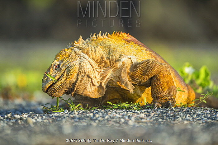 Galapagos Land Iguana (Conolophus subcristatus) grazing, Cape Douglas, Fernandina Island, Galapagos Islands, Ecuador