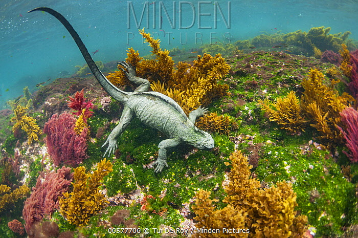 Marine Iguana (Amblyrhynchus cristatus) grazing on algae, Cape Douglas, Fernandina Island, Galapagos Islands, Ecuador