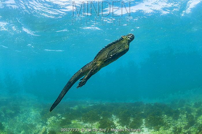Marine Iguana (Amblyrhynchus cristatus) swimming, Punta Espinosa, Fernandina Island, Galapagos Islands, Ecuador