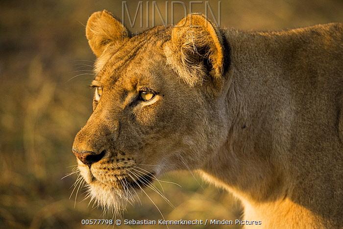 African Lion (Panthera leo) three year old female, Busanga Plains, Kafue National Park, Zambia