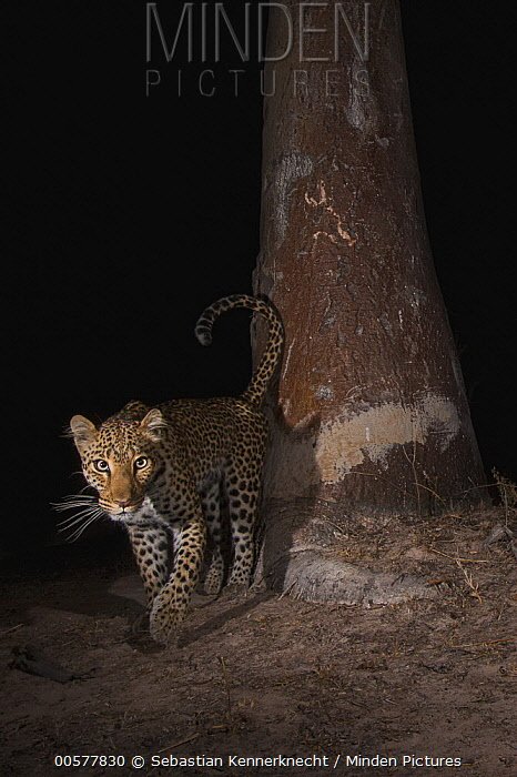 Leopard (Panthera pardus) female at scent-marking spray-tree at night, Kafue National Park, Zambia