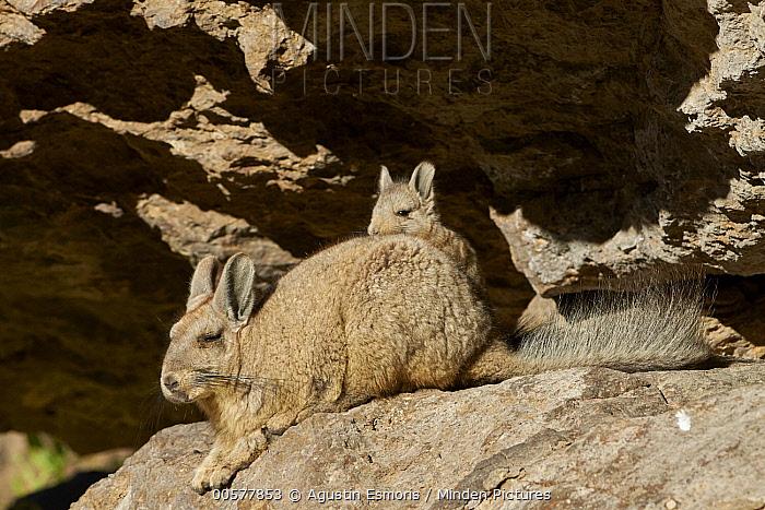 Southern Viscacha (Lagidium viscacia) mother and young, Patagonia, Argentina