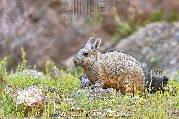 Southern Viscacha (Lagidium viscacia) grazing, Patagonia, Argentina
