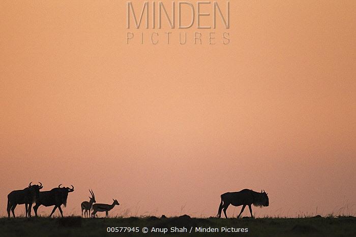 Thomson's Gazelle (Eudorcas thomsonii) pair and Blue Wildebeests (Connochaetes taurinus) at sunrise, Masai Mara, Kenya