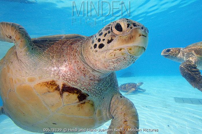 Loggerhead Sea Turtle (Caretta caretta) group, Okinawa Churaumi Aquarium, Japan