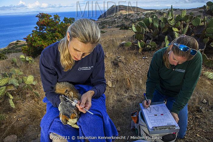 Minden Pictures Stock Photos Santa Catalina Island Fox