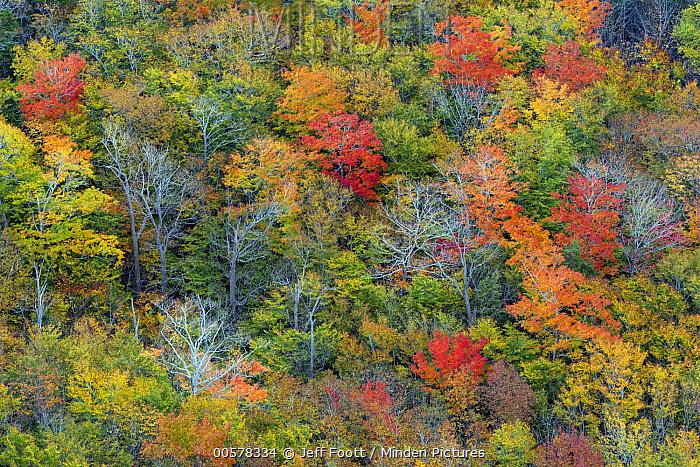Deciduous forest in autumn, Acadia National Park, Maine