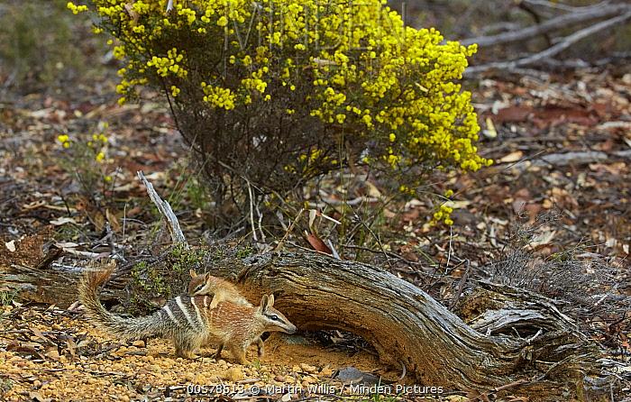 Numbat (Myrmecobius fasciatus) mother carrying young at burrow, Brookton, Western Australia, Australia