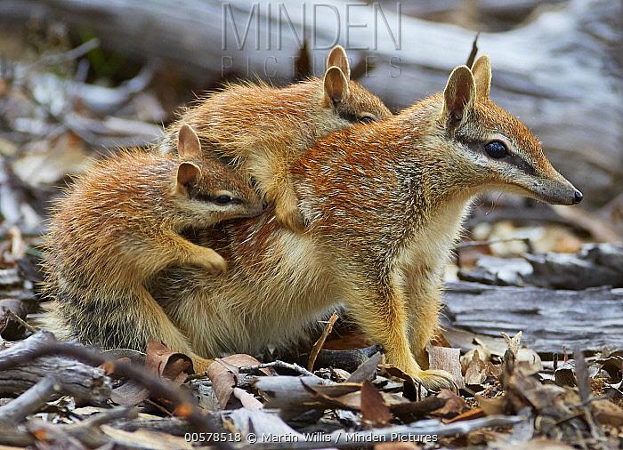 Numbat (Myrmecobius fasciatus) mother carrying young, Brookton, Western Australia, Australia