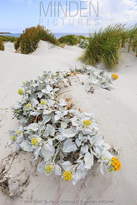 Groundsel (Senecio candicans) flowering on sand dune, Sealion Island, Falkland Islands