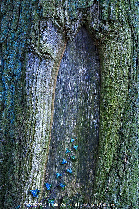 English Ivy (Hedera helix) on tree trunk, Netherlands