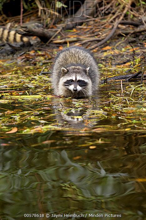 Raccoon (Procyon lotor) juvenile in water, San Francisco, Bay Area, California