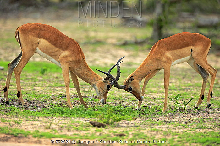 Impala (Aepyceros melampus) males fighting, Sabi-sands Game Reserve, South Africa