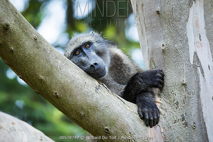 Chacma Baboon (Papio ursinus) in tree, Montagu Pass, Garden Route National Park, South Africa
