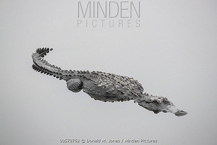 American Alligator (Alligator mississippiensis), central Florida
