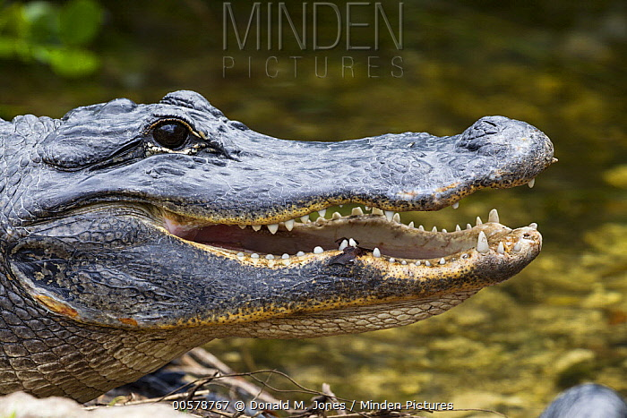 American Alligator (Alligator mississippiensis) thermoregulating, North America