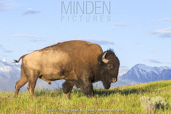 American Bison (Bison bison) bull, National Bison Range, Montana
