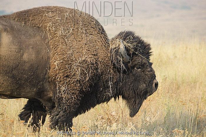 American Bison (Bison bison) with grass on horns, National Bison Range, Montana
