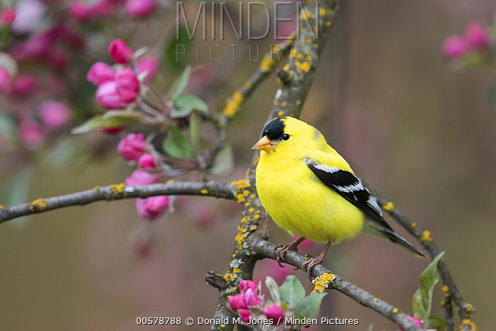 American Goldfinch (Carduelis tristis) male in flowering tree, Troy, Montana