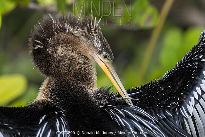 American Darter (Anhinga anhinga) preening, Everglades National Park, Florida